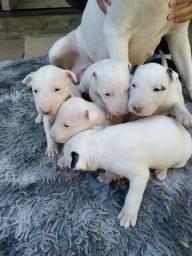 Filhotes Bull terrier