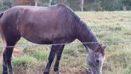 Égua meio sangue QM à venda!