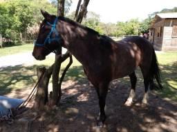 Vendo cavalo crioulo chileno