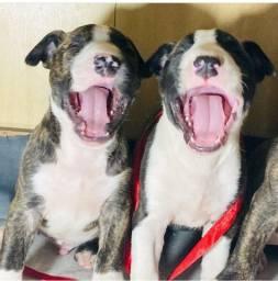 Bull terrier inglês filhotes Alto Nível
