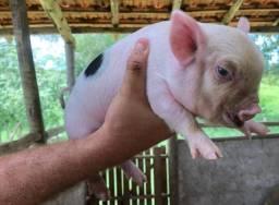 Mini pigs/mini porco