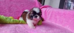 Título do anúncio: Shih tzu maravilha de filhote Pedigree cbkc