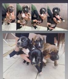Pitbull American Bull Terrier puro - fêmeas