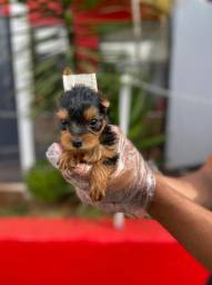 Yorkshire Terrier, whats para maiores info 001  * Alexandre