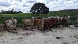 Vacas Gir leiteiro PO