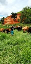6 vacas leiteiras giro