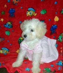 Cachorrinha poodle Toy