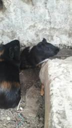 Vendo 3 porquinho da india