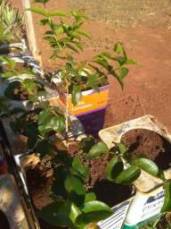 Mudas frutiferas e ornamentais