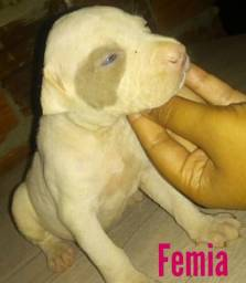 Vendo filhotes de pitbull red nose porte grande