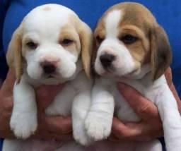 Beagle amor incondicional pra voce