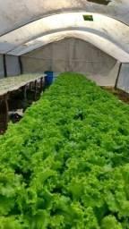 Vendo alface hidropônico cheiro verde