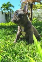 bulldog francês blue FÊMEA (cinza)