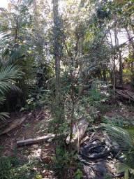 Jabuticabas e palmeiras
