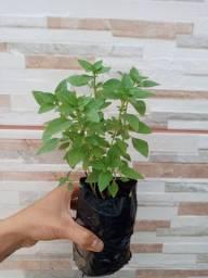 Plantas e mudas em manacapuru