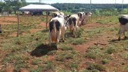Vacas de eleite cim otimas lactação