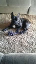 Bulldog Francês macho (cruza)