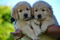 Golden Retriever pedigree recibo garantia de saúde