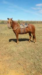 Vende-se cavalo por 3,000 pega ganbira Goiânia,Goiás Maripotaba