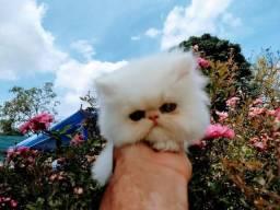 Lindo gato persa machona mega promoço de natal imperdivel