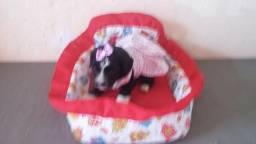 Filhote de poodle fêmea mini disponível
