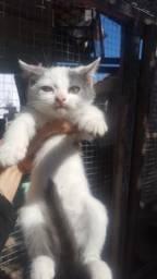 Lindo gatinho filho de mestiça persa