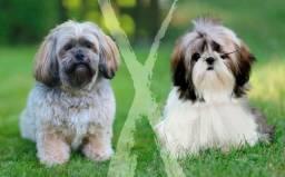 Doações filhote de lhasa apso cachorrinhos todos vacinados