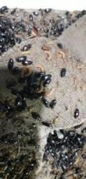 Besouro do amendoim