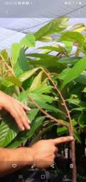 Plantas cupuaçu sem caroço xertato