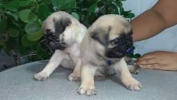 Filhotes Pug de procedência com pedigree CBKC