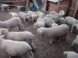 Vendo ovelhas e cabritos