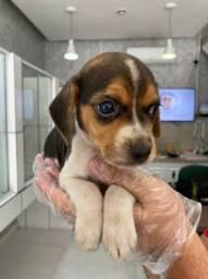 Filhotinhos de beagle mini machinhos e fêmeas