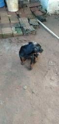 Vendo Cachorro raça rottweiler