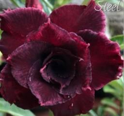 Título do anúncio: Mudas de Rosa do Deserto de Coleção Com 4, 5 e 6 Cores
