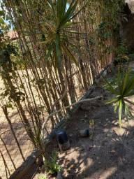Planta decorativa gogó da Êma