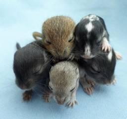 Filhotes de esquilos da Mongólia (Gerbils)