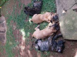 Fila brasileiro - filhotes
