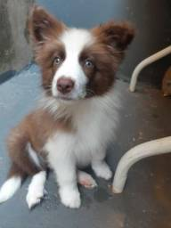 Border Collie 3 meses (pedigre cbkc)