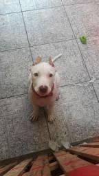 Vendo cachorra pit bull APBT com 5 meses  zap *