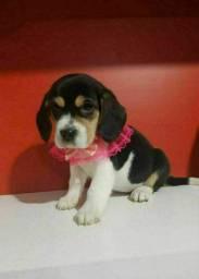 Beagle fêmea em Promoção só Aqui no Pet Princess