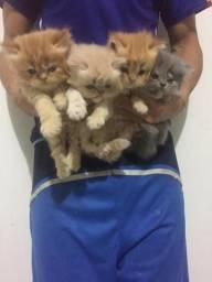 Lindos Gatinhos Persa