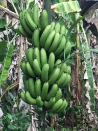 Banana Caturra (Cacho) 25,00