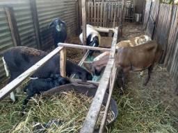 Vendo 4 ovelha santa Inês 3 a mojada e uma parida