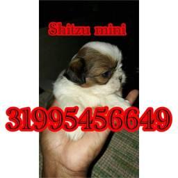 Título do anúncio: Shitzu lindo em promoção