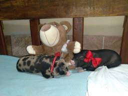 Mini porco/mini pig