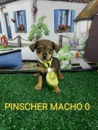 Pinscher filhotinhos