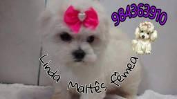 Tenho pra hoje promoção de Maltês miniatura femea  corre lá no WhatsApp