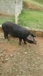 Vendo porco capado/porca e leitoes