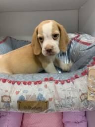 Beagle! Bicolor, vermifugado! 45 dias de nascidos! Obs: fotos anteriores