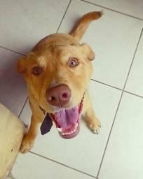Doação labrador +pitbull